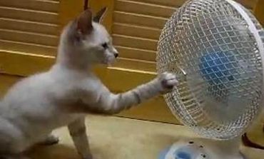 Kitten playing with a fan